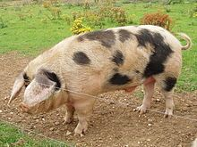 The Gloucestershire Old Spots pig is known for its docility, intelligence, and profligacy. Boars reach a mature weight of 600 lbs (272 kg) and sows 500 lbs (227 kg). The pigs are white with clearly defined black (not blue) spots.