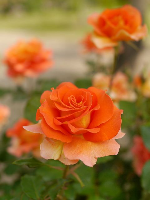 ~'Brass Band'   Floribunda rose