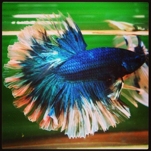 Top 25 ideas about something fishy on pinterest betta for Betta fish game