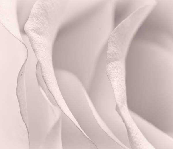 White on white rose flower by AuroraMinna on Etsy