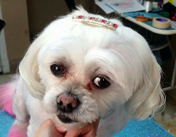 65 best dog grooming images on pinterest dog grooming business maltese dog grooming dog grooming business solutioingenieria Choice Image