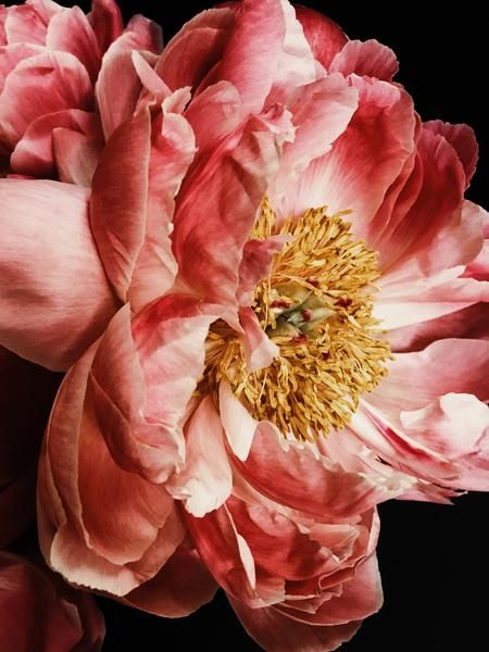 Peony 11 Photographic print Available as paper print on Hahnemuhle Photo Rag Paper. All paper images are printed with a white border. All photographic prints