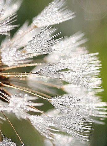 身近なタンポポがこんなに美しいなんて。  うっとりします。  fluff of a dandelion with morning dew on them