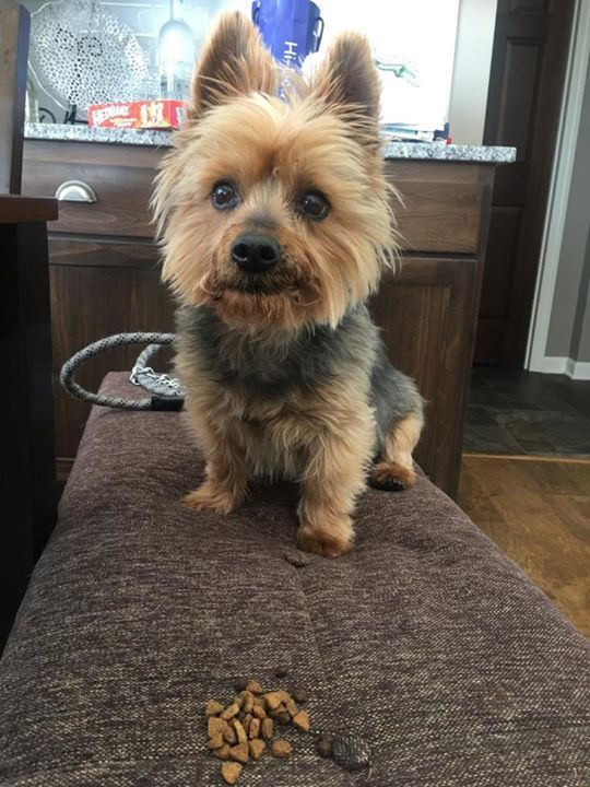 Is This Your Dog Anoka Yorkie Poo Male Date Found 04 17 2018