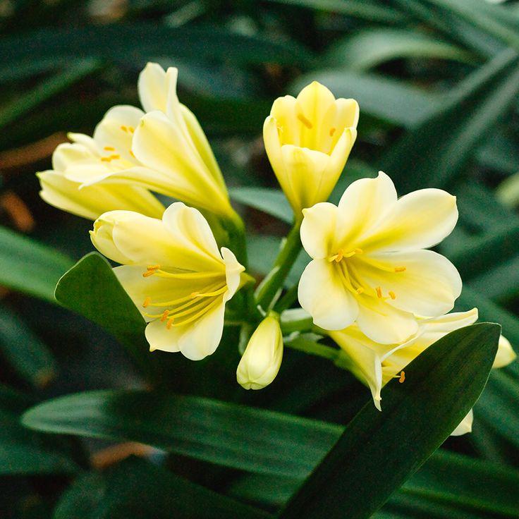 Clivia miniata, (TK Yellow x Hirao) x Hirao Green Flower.  Colorado Clivia's plant number 1995D.