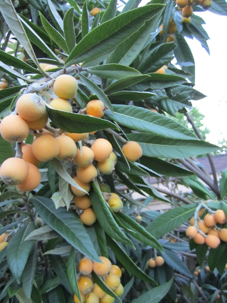 Loquats on tree