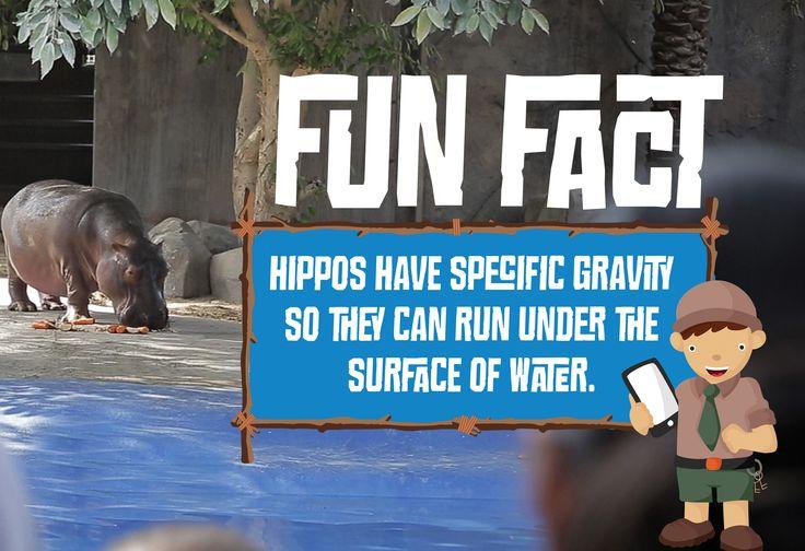 Hippo Fact