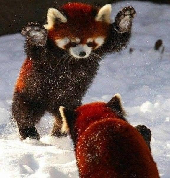 #picture #фото #картинка # Красные панды играют в снегу