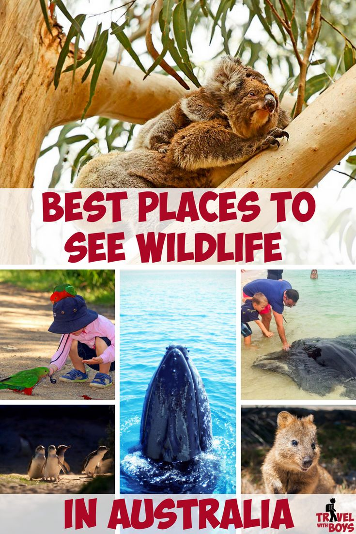From koalas, dolphins and penguins, to great white sharks, crocodiles and dingoes, the most amazing encounters can be had in the wild. So where are the best places to see wildlife in Australia? Take a look and see for yourself. travelwithboys.com #wildlife #australia #familytravel
