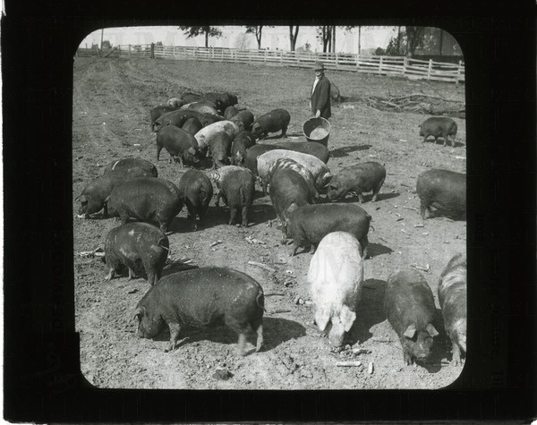 Feeding hogs in a prairie pasture, Illinois | saskhistoryonline.ca