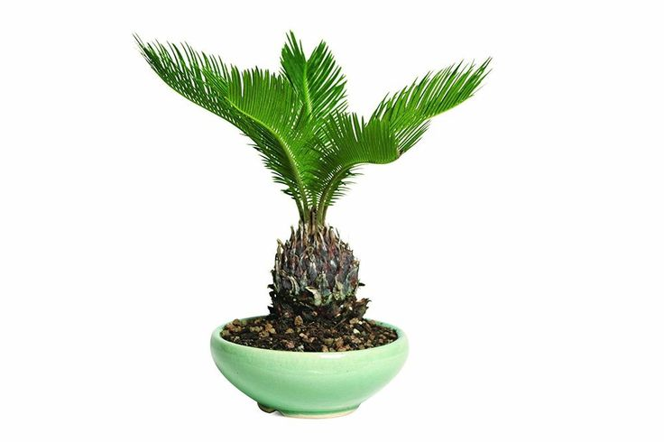 Hooseplan Bonsai Sego Palm Plant Tree China 7 Years Easy to Grow Office Gift #HooseplanBonsaiSegoPalm
