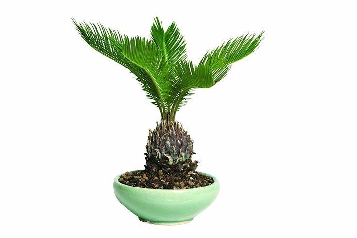 Hooseplan Bonsai Sego Palm Plant Tree China 7 Years Easy to Grow Office Gift #HooseplanBonsaiSegoPalm