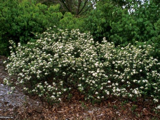 Black Chokeberry - west front garden