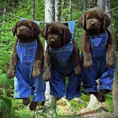 These puppies are wearing overalls while hanging from a clothesline.