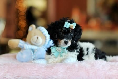✯ ✰ ★ Stunning Tri-Color Poodle Popeye! ✯ ✰ ★ Bring This Handsome Baby Home Today! 954-353-7864 www.teacuppuppiesstore.com #poodle #fluffy #noshed #hypoallergenic #toy #teacup #micro #pocketbook #teacuppuppies #teacuppuppiesstore #tiny #teacuppuppiesforsale #teacuppoodle #small #little #florida #miami #fortlauderdale #bocaraton #westpalmbeach #southflorida #miamibeach #cute #adorable #puppy #puppiesforsale #puppylove #tinypoodle #tricolor #rare #unique