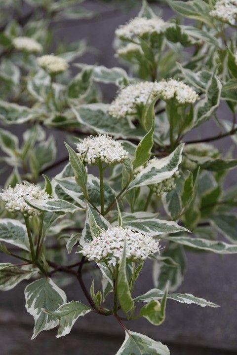 Bonte kornoelje cornus alba 39 sibirica variegata 39 bomen - Cornus alba sibirica ...