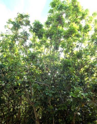 Bersama Lucens           Glossy White Ash         Blinkblaarwitessenhout          3-10 m        S A no 439