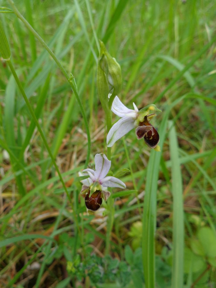 Bee orchis - Les Eyzies May 2014