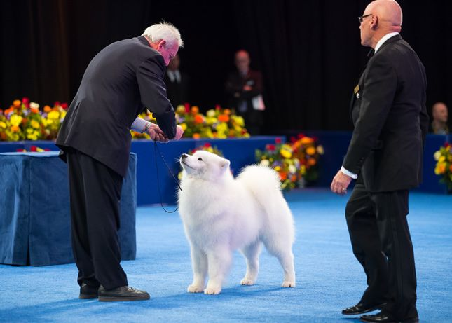 Bogey the Samoyed won Reserve Best in Show or runner-up to Nathan the bloodhound who won Best in Show at the 2014 National Dog Show.