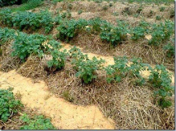 МУЛЬЧИРОВАНИЕ. Использовать мульчу в саду можно по-разному. Особенно выгодно ее применять, когда вы разбиваете огород на участке, заросшем многолетними сорняками. Работа, ужасно изнурительная, если применять вскапывание, может оказаться очень легкой.