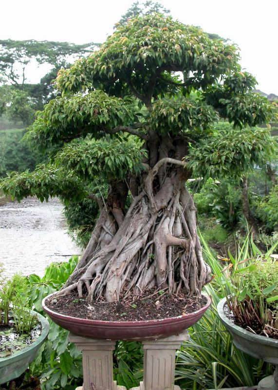 17 best ideas about bonsai ficus on pinterest bonsai bonsai forest and bonsai trees. Black Bedroom Furniture Sets. Home Design Ideas