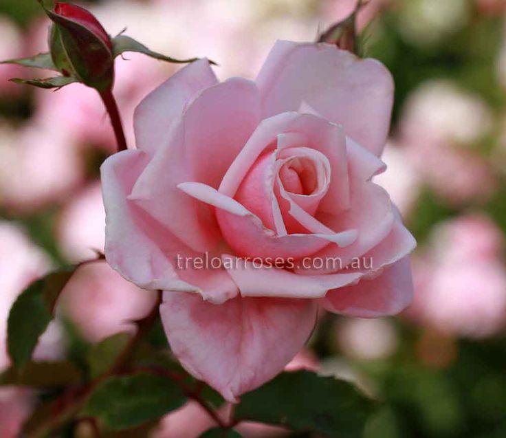 CLIMB. BLOSSOMTIME - Climbing rose