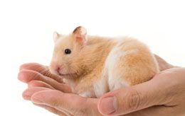 Life Cycle of Teddy Bear Hamsters Bear hamster, Baby