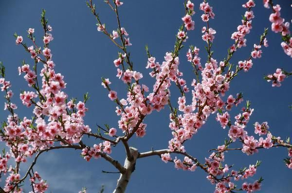14 Things To Know About Cherry Blossoms Flowering Cherry Tree Japanese Cherry Tree Spring Blooming Trees