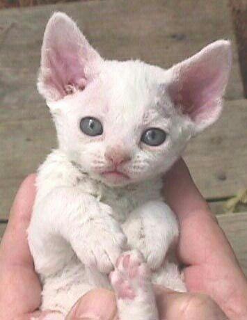 White Devon Rex kitten cuteness