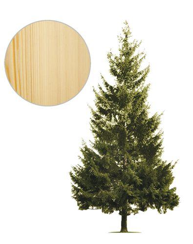 jodla_drzewo