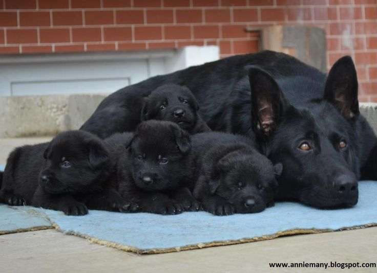 Black German Shepherd is a good choice to invest because of their high rate of productivity.      A female Black German Shepherd can give birth to upto 10 puppies.Normally its litter size       is (5-10).