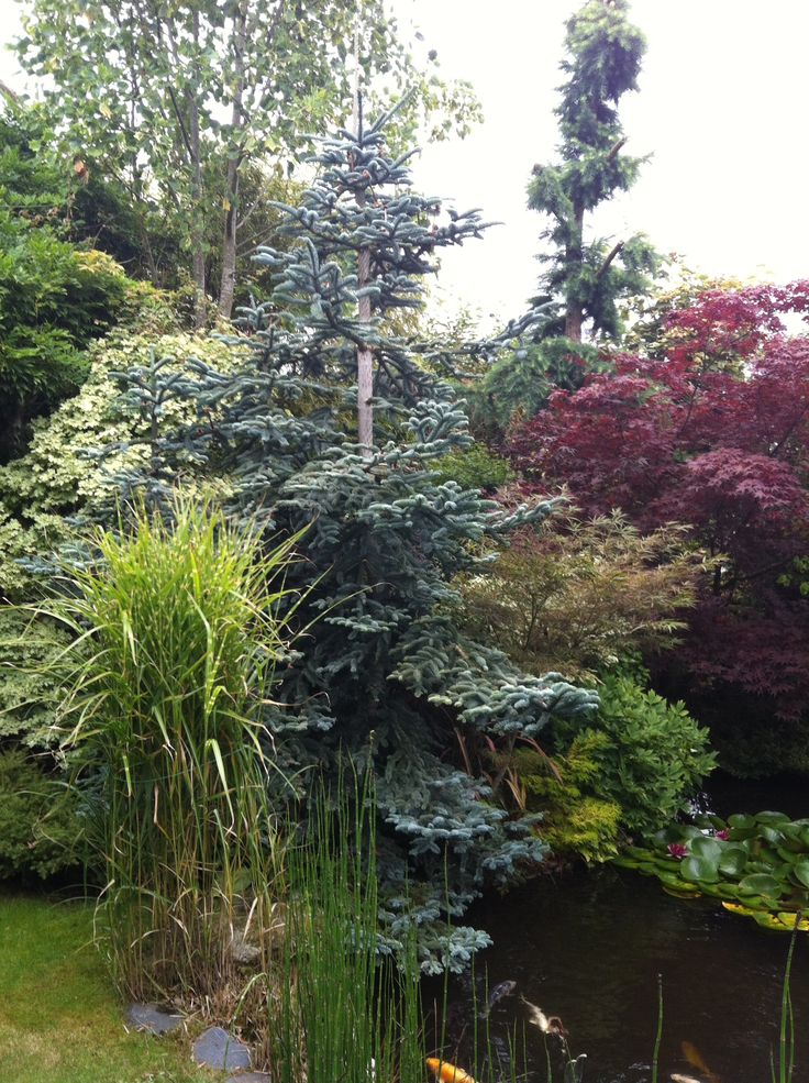 Another of his 3 Koi ponds surrounded by traditional trees and shrubs.