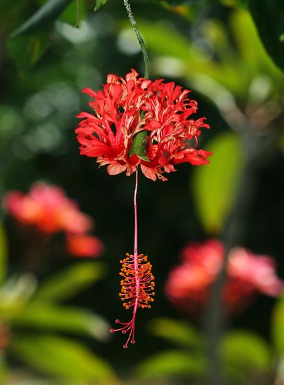 Hibiscus schizopetalus - Coral Hibiscus, Fringed Rosemallow, Japanese Lantern, Chinese Lantern, Pagoda Flower, Skeleton Hibiscus, Fringed Hi...