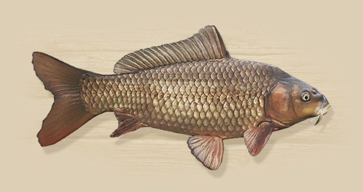 Common Carp - Species Directory - Fish Louisiana