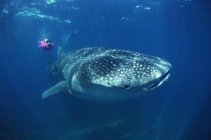 Tubarão-baleia – maior peixe do mundo