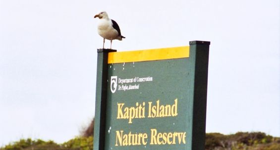 Meet the locals during a visit to Kapiti Island Nature Reserve.