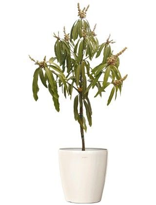 Mamey Fruit Tree: Small Wholesale Fruit Tree Mamey sapote Web Buy Indoor Plants - Fruit Plants Online RealOrnamentals.com or RealPalmTrees.com #IndoorPalms #DIY2015 #PalmTrees #BuyPalmTrees #2015PlantIdeas #Summer2015Plants #Ideas #BeautifulPlant #DIYPlants #OutdoorLiving #decoratingareasideas