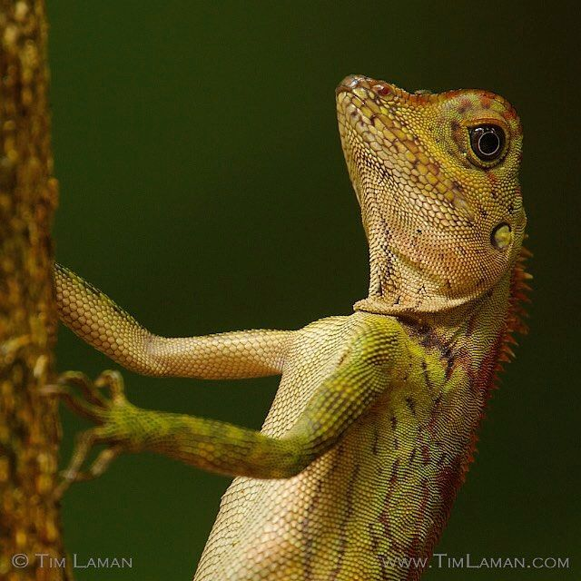 lizard in rain forest in Borneo Photo by @TimLaman.