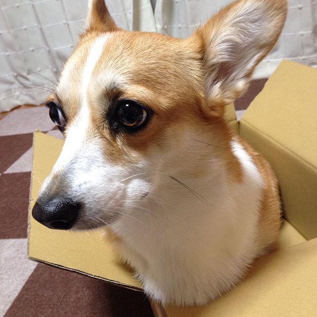 🐶お届け物ですよ〜✨💕🎵 ☆ #箱入り娘 ならぬ#箱入りおもち 😁 前回postした、toiletpbperchallengeバトンのpicを撮ってる時に気分転換で撮ってみましたぁ😆👍🏻🎵 ☆ 年末も近づき気持ちがざわつく報道がありますが、ここ数日でふ〜んと思ったニュース🤔 *2016年の人気犬種ランキングでコーギーが10位だった件 *インスタに保存機能が追加された件 *コッペパンの具のはさみ方は東西で違う件 ☆ ☆ #dog #犬 #わんこ #corgi #コーギー #corgilove #corgilife #corgistagram #dogstagram #doglover #inutokyo #ふわもこ部 #いぬら部 #短足部 #pwc48 #しえるバンダナプレゼント #愛犬 #犬のいる暮らし #癒しわんこ #あまえんぼう #あまちゃん #がんばっぺ #おもち #cute #lovely #たいせつ #どうか届きますように #gift