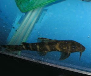 26 best images about Synodontis catfish on Pinterest ...