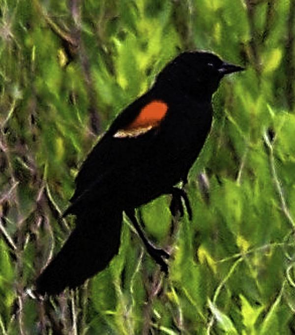 Black Bird: Introducing Gordon, Rohrbaugh Jr, Black Birds, Jr Photo
