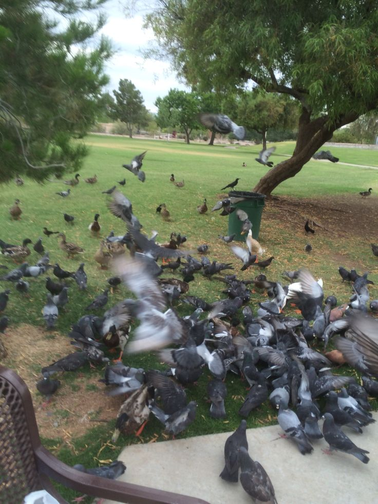 Invasion of pigeons. Pic taken by Mark Mearin in May.
