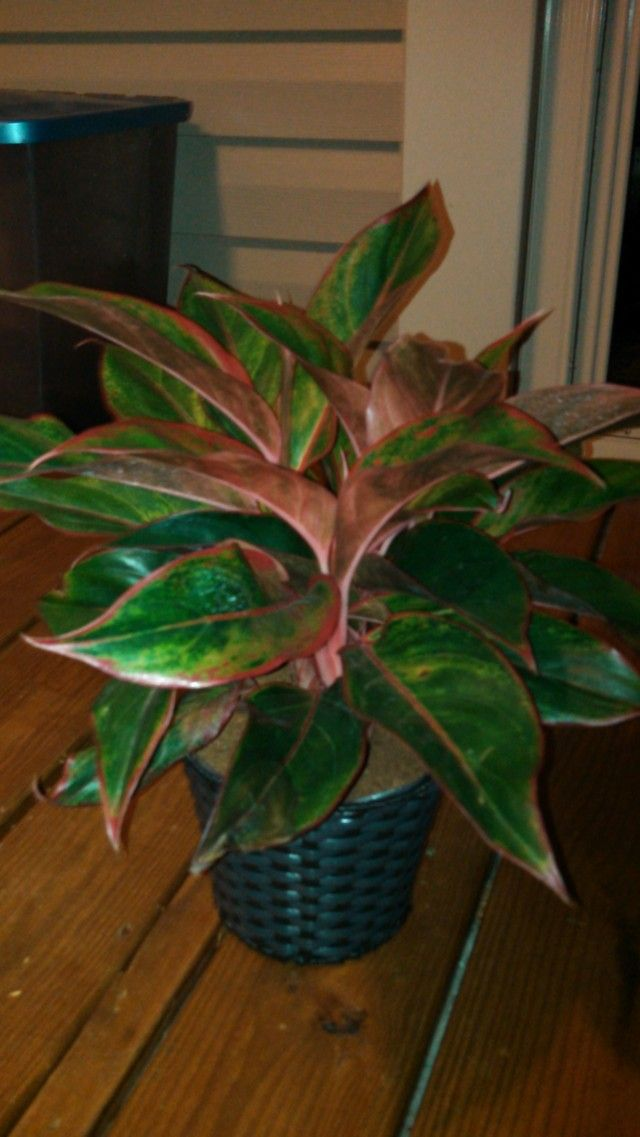 Lighting For Red Aglaonema   House Plants Forum   GardenWeb. Pot PlantsIndoor  GardeningHouseplantsSouthernPotted ...