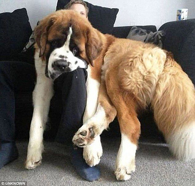 This cuddly St Bernard clearly thinks it's a lapdog as it tries to lay across its owner on the sofa