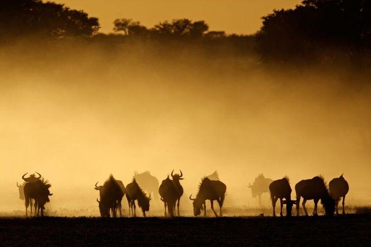 Group of wildebeest on safari in Botswana www.africantravel.com #africantravel…
