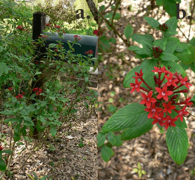 59 best florida native plants images on pinterest