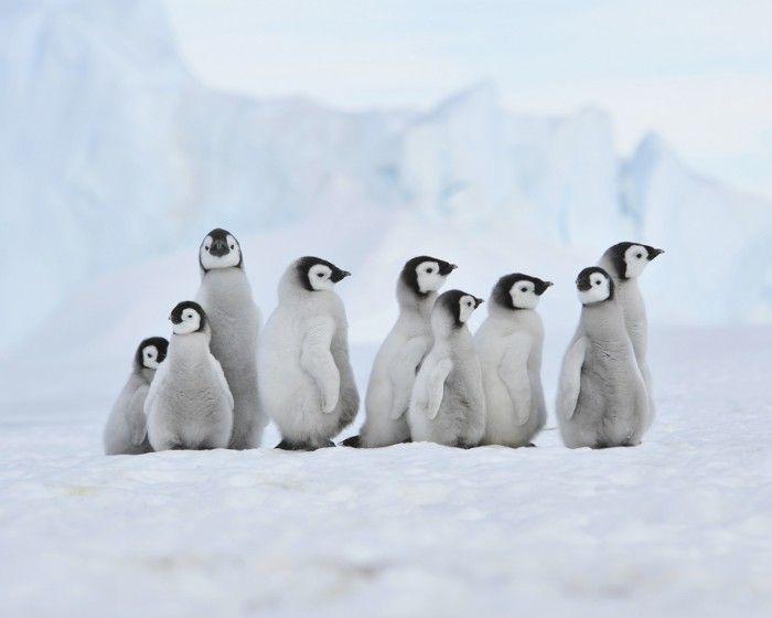 Pingouins ou Manchots ? » Lili la Mouette
