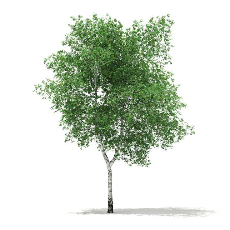 Silver Birch Betula Pendula 3D Obj - 3D Model