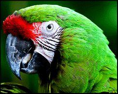 El guacamayo verde tiene 2 patas, tiene plumas verdes, 2 alas, dos ojos, un pico azul y es ovíparo.