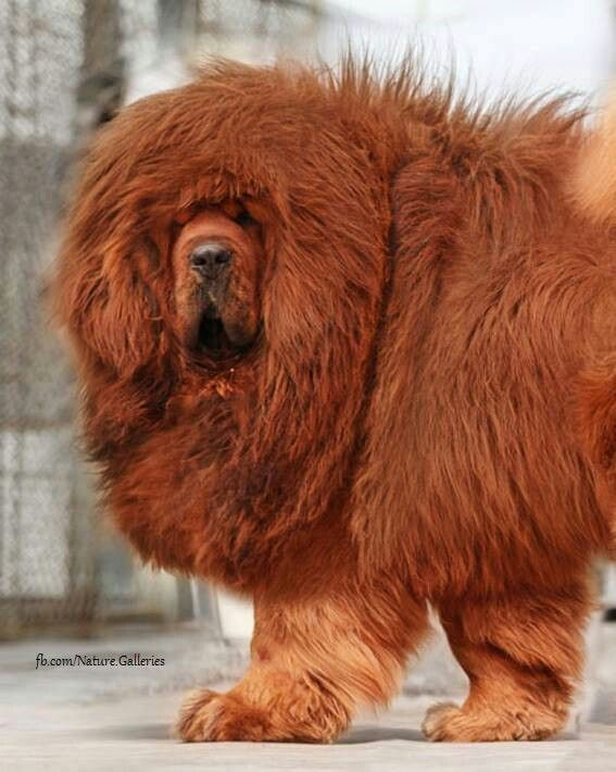 Red Tibetan Mastiff...very rare and known to weigh up to 300 pounds.